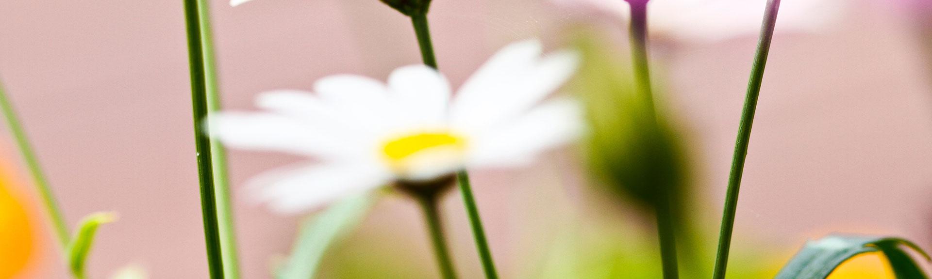 Gänseblümchen in der Wiese